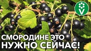БУДУТ ЗДОРОВЫЕ КУСТЫ И МНОГО ВКУСНЫХ ЯГОД! Вот как поддержать смородину после сбора урожая!