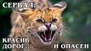 СЕРВАЛ Самая дорогая дикая кошка может стать домашней Интересные факты про диких кошек и животных
