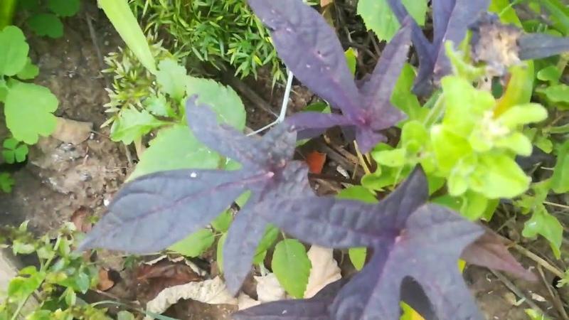 Пальмолистный и пушистый аспарагус ипомея батат сортовые алоэ мурайя бегонии пёстролистная хойя