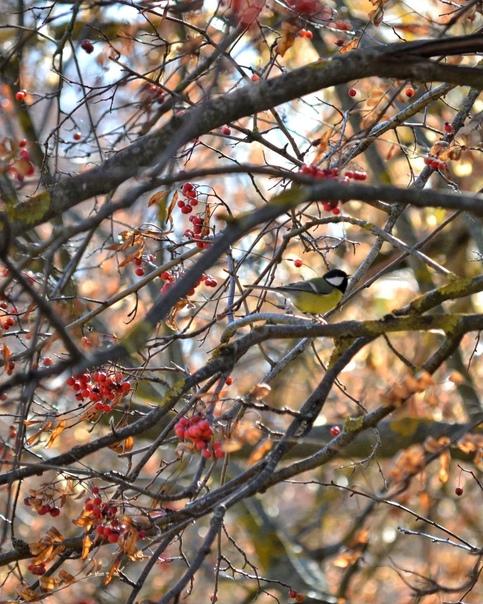 Чудесная птичка-синичка...📷 natali_zar...