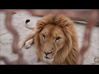 """Благоустройство """"Ишачка"""". Львы. ВИТЯ, ДИНА  и павлины. Life of #lions #animals"""