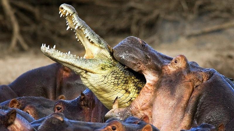 13 Животных Которые Ненавидят Друг Друга